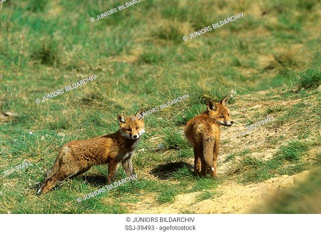 vulpes vulpes / red foxes - 2 , young ones -