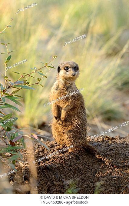 Suricate (Suricata suricatta) looking out for danger