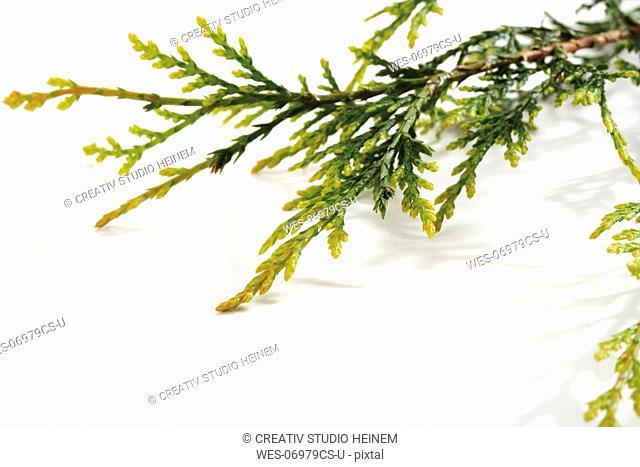Branch of leyland cypress Cupressus leylandii, close-up