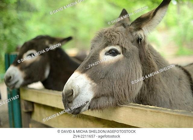Close-up of two donkey or ass (Equus africanus asinus) looking over a fence
