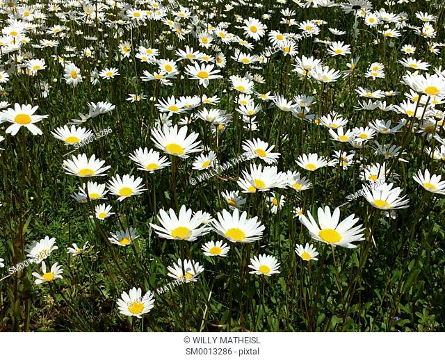field with marguerite flowers, Bavaria, Germany, Europe