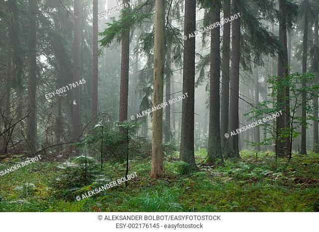 Natural coniferous stand in mist, Bialowieza Forest, Podlasie Province, Poland