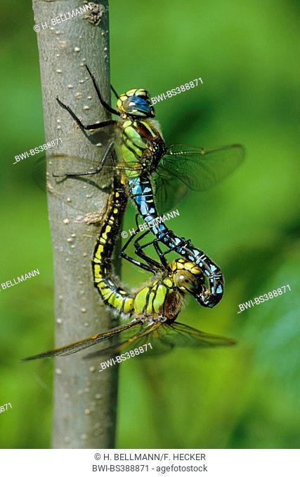 Lesser hairy dragonfly, Hairy Dragonfly, Hairy Hawker, Spring Hawker (Brachytron pratense, Brachytron hafniense), mating wheel, Germany