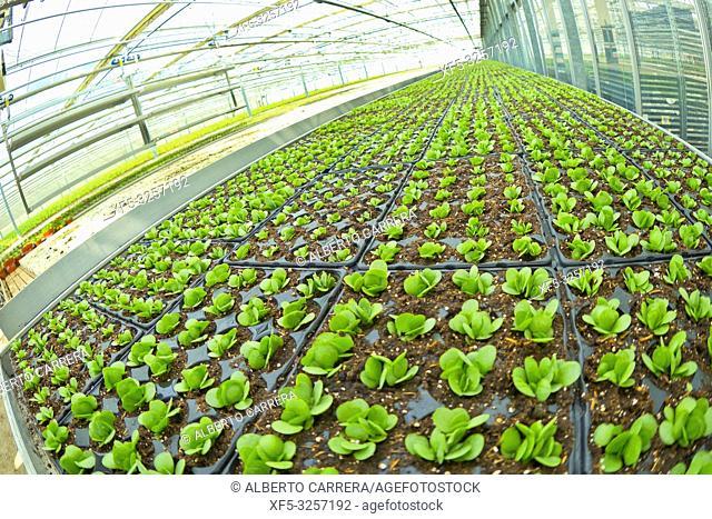 Growing Plants Cultivation, Dutch Greenhose, Holland, Netherlands, Europe