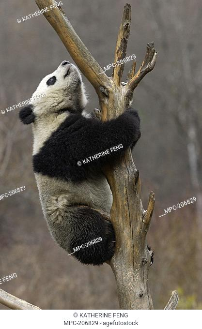 Giant Panda Ailuropoda melanoleuca, endangered, climbing a tree at the China Conservation and Research Center for the Giant Panda, Wolong Nature Reserve, China