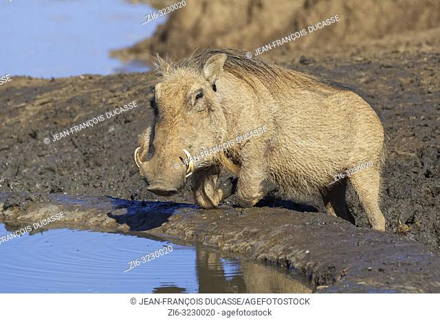 Common warthog (Phacochoerus africanus), kneeling adult, drinking at a waterhole, alert, Addo Elephant National Park, Eastern Cape, South Africa, Africa