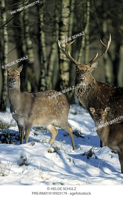 Sika Deer, male, doe & calf Dybowski, Cervus nippon, Cervus nippon hortulorum