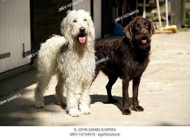 Cream labradoodle + Chocolate labradoodle in front of stable