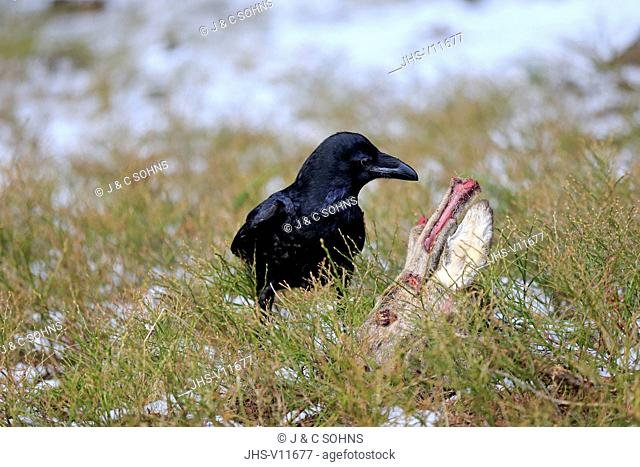 Common Raven, (Corvus corax), adult on ground at carrion, Zdarske Vrchy, Bohemian-Moravian Highlands, Czech Republic