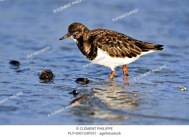 Turnstone Arenaria interpres in winter plumage, Ostend, Belgium