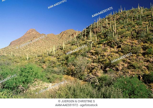Sonora Desert in early Summer with Saguaro Cactus, AZ