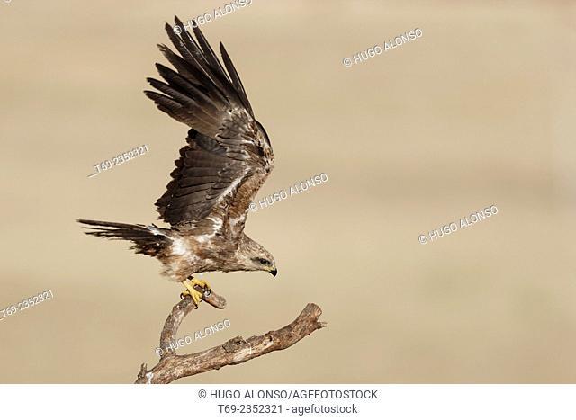 Black kite. Milvus migrans