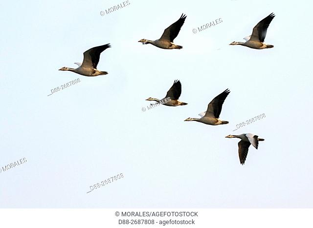 South east Asia, India,Assam state,Brahmapoutra,. Bar-headed goose (Anser indicus),group in flight