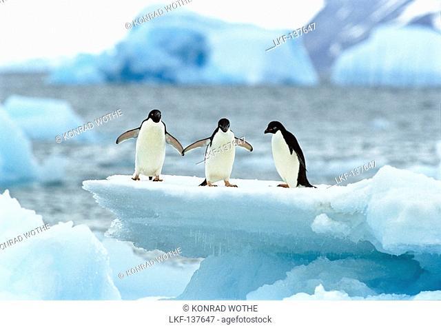 Adelie Penguins on icefloe, Pygoscelis adeliae, Antarctica