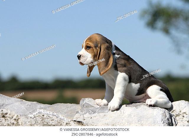 A Beagle puppy sitting on a rock