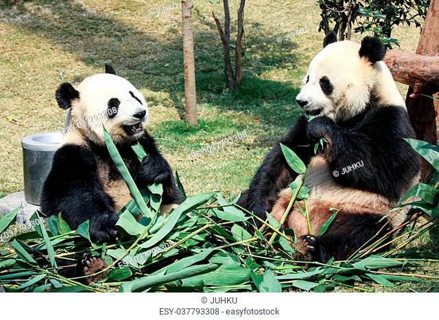 Two giant pandas eating bamboo