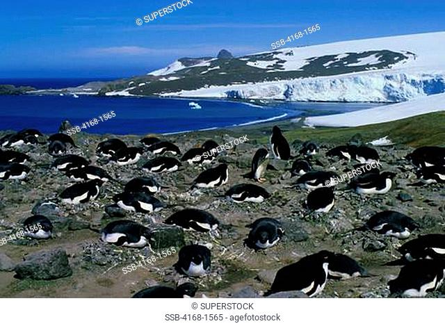 ANTARCTICA, KING GEORGE ISLAND, ADELIE PENGUIN COLONY, PENGUINS INCUBATING EGGS