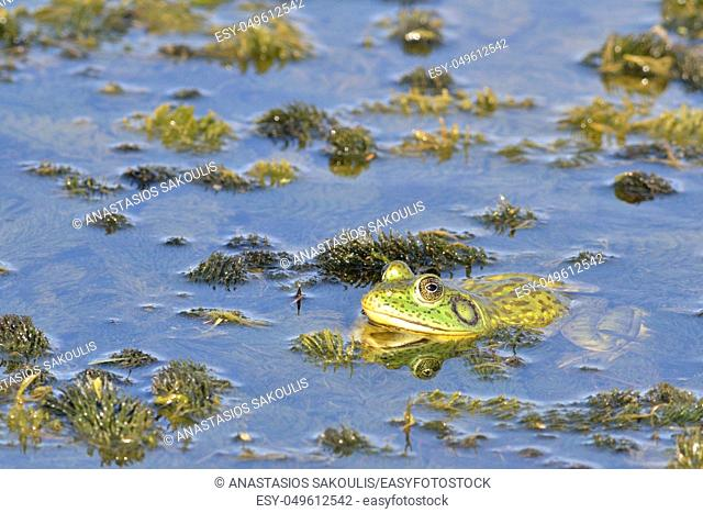 An American Bullfrog (Rana catesbeiana), an invasive species on Crete