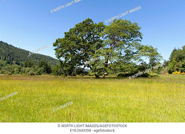 Canada, BC, Saltspring Island. Lone tree standing in grassy field