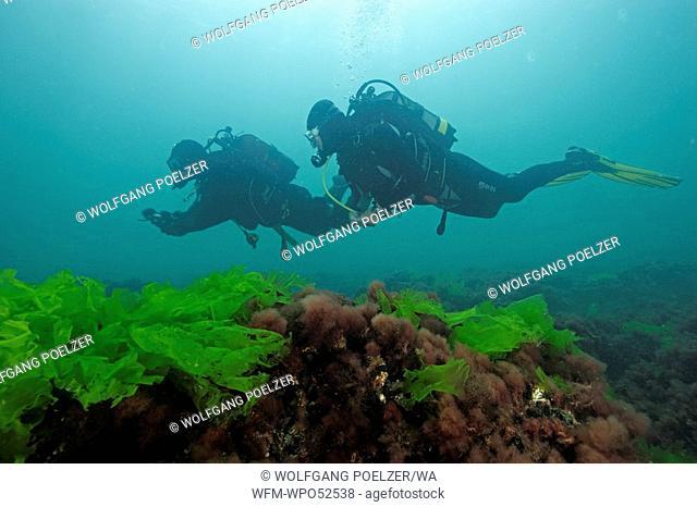 Scuba Diver with Sea Lettuce Algae, Ulva lactuca, Constanta, Black Sea, Romania