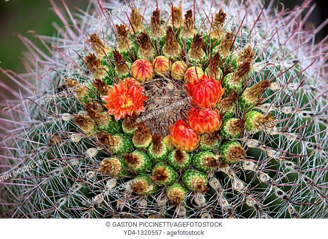 Forecactus wislizeri flowers, Sonora desert, Saguaro National Park Western section, Tucson, Arizona, USA