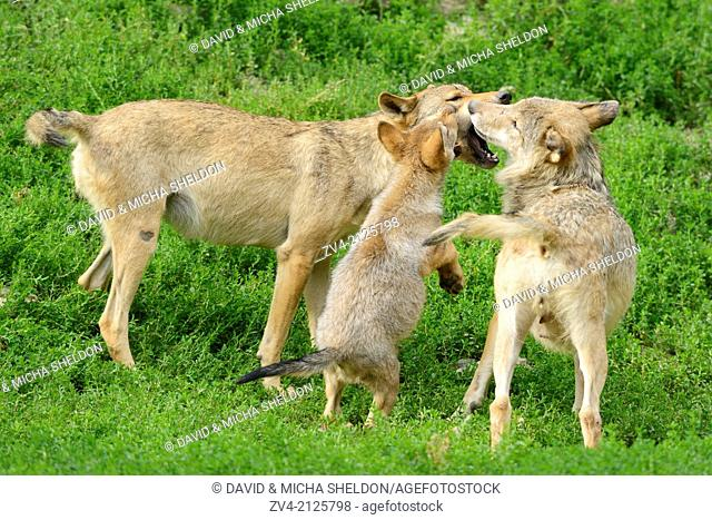 Two Eastern wolves (Canis lupus lycaon) with a whelp, Germany, Europe