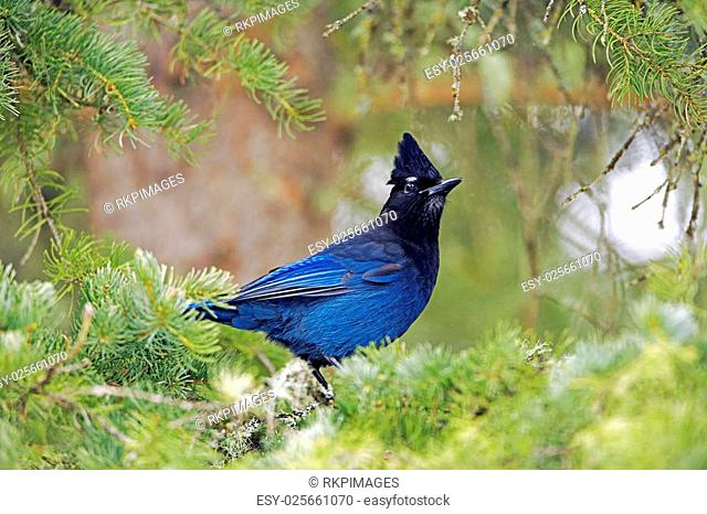 Steller's Jay perched in tree, watching