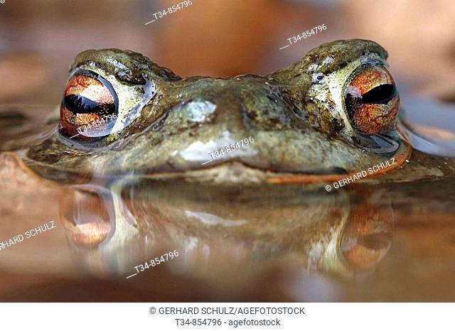 Erdkröte, Bufo bufo, Schleswig-Holstein, Deutschland , Common Toad, Bufo bufo, Schleswig-Holstein, Germany