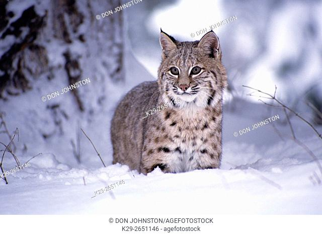 Bobcat (Felis rufus) captive raised, in winter habitat, Columbia Falls, Montana, USA