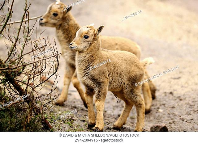Close-up of two Barbary sheep (Ammotragus lervia) lamkins in spring