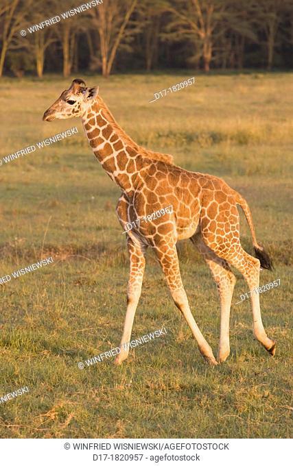 Rothschildt-Giraffe Giraffa camelodardalis young Rothschildt's giraffe Lake Nakuru NP, Kenya