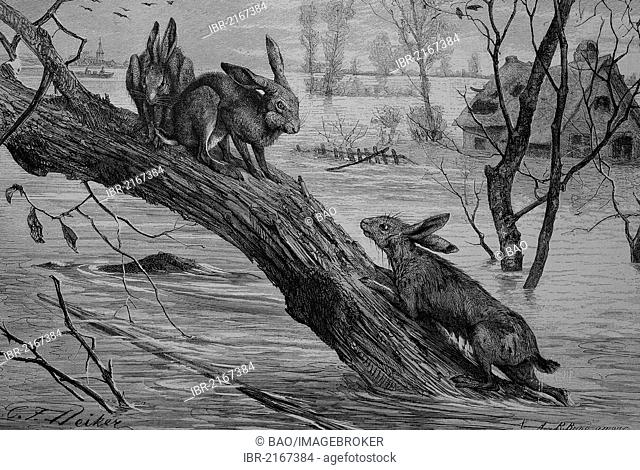 Hares seeking refuge on a tree trunk during a flood, historical engraving, 1880