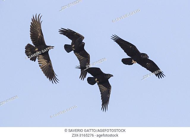 Raven (Corvux corax hispanus), flock in flight