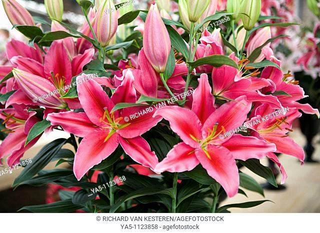 Lilium Carbonero Stock Photo Picture And Rights Managed
