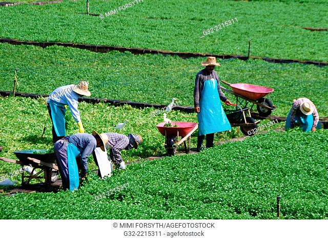 harvesting watercress, Hawai'i