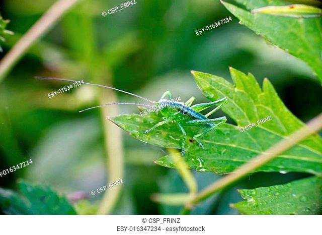 Bush-cricket (Leptophyes)