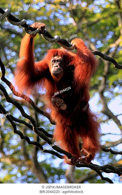 Bornean orangutan (Pongo pygmaeus), mother with young on a liana, Singapore, Asia