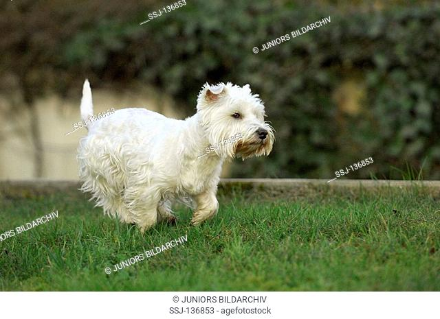 West Highland White Terrier - running on meadow
