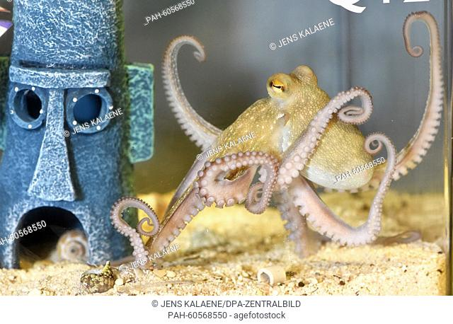 The four month old baby octopus 'Jonas' swims in the kindergarten aquarium at the 'Sea Life' aquarium in Berlin, Germany, 05 August 2015