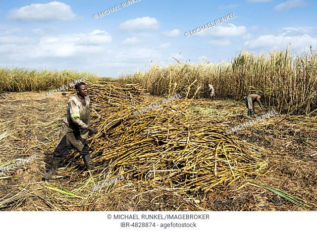Sugar cane cutter in the burned sugar cane fields, Nchalo, Malawi