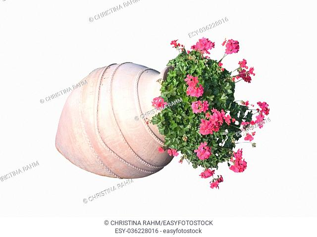 Pink geranium flowers in terracotta vase outdoors