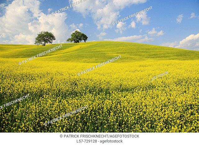 Rape, Oak trees, hill countryside, agricultural landscape, Tuscany, Italy