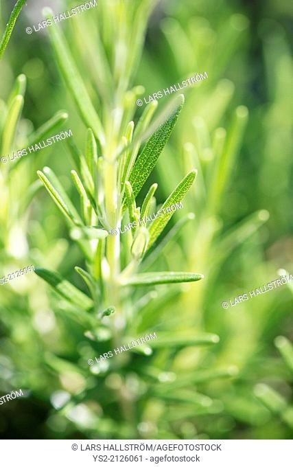 Close up of rosemary twig. Fresh plants growing in vegetable garden