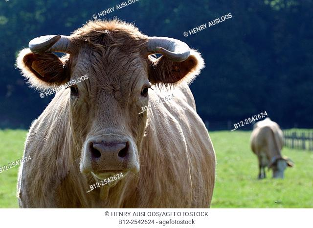Blonde d'Aquitaine Bos taurus Cow, cattle, France