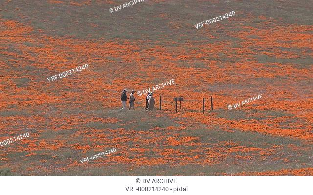 Zoom out of hikers enjoying california poppies in bloom in the Antelope Valley Poppy Preserve, California