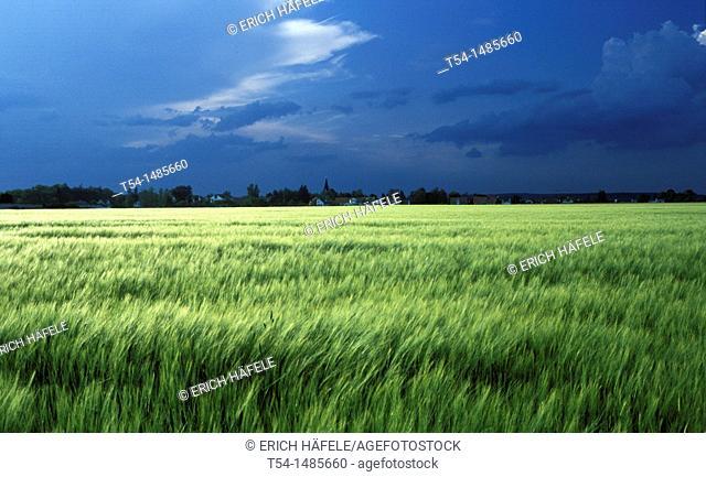 Still green wheat field in front of approaching storm