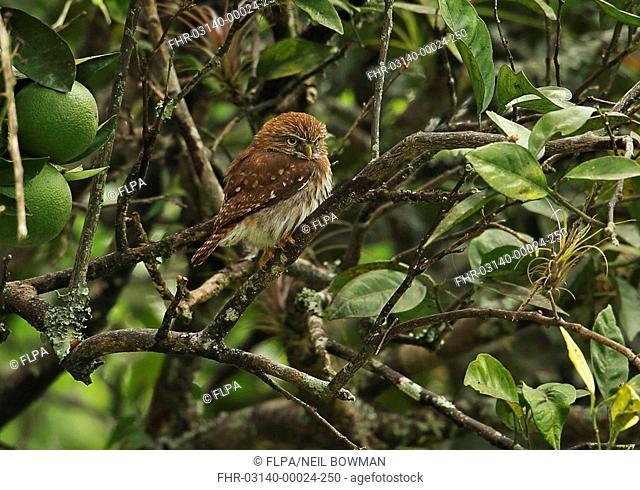 Ferruginous Pygmy-owl (Glaucidium brasilianum ridgwayi) adult perched on branch of orange tree, Lake Yojoa, Honduras, February