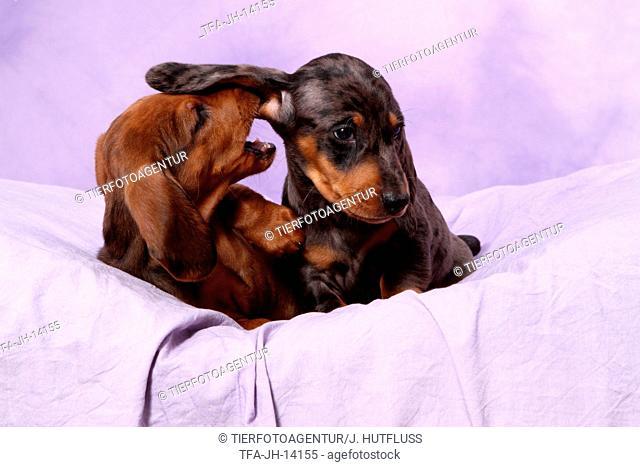 Tigerteckel Puppies