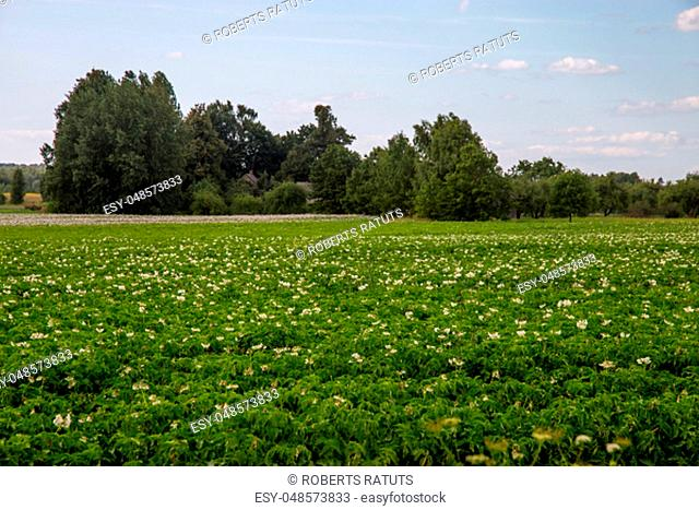 Potatoes plants with white flowers growing on farmers field. Landscape with flowering potatoes. Summer landscape with green field, wood and blue sky