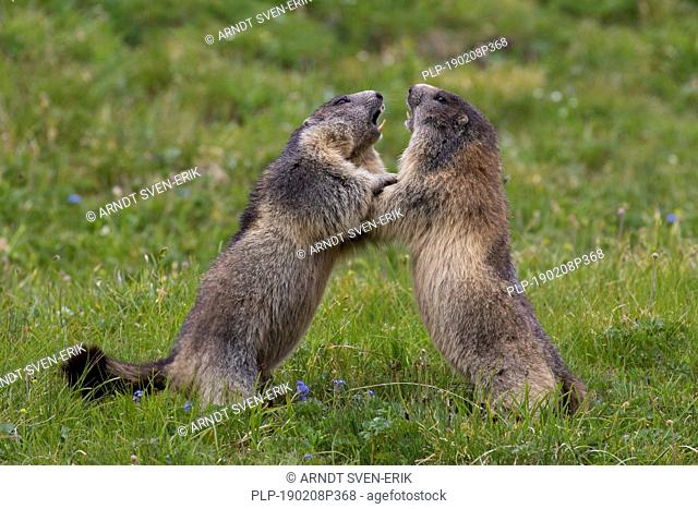 Two Alpine marmots (Marmota marmota) fighting in Alpine pasture, Hohe Tauern National Park, Carinthia, Austria